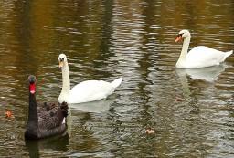 Из парка Горького увезли лебедей
