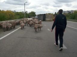 На окружной перевернулся грузовик со свиньями (ФОТО)